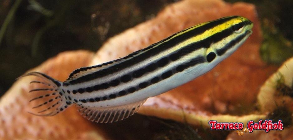 http://www.tarracogoldfish.com/wp-content/uploads/2012/07/Meiacanthus-Grammistes-2.jpg