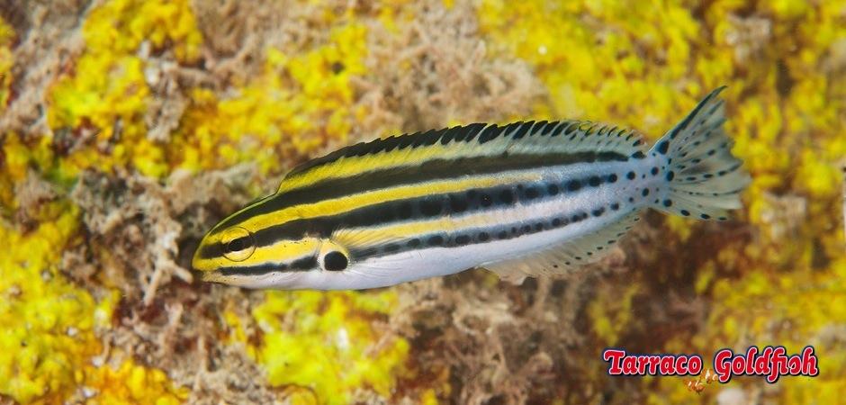 http://www.tarracogoldfish.com/wp-content/uploads/2012/07/Meiacanthus-Grammistes-3.jpg