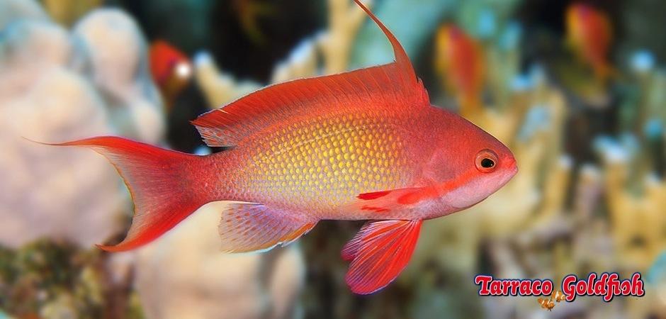 http://www.tarracogoldfish.com/wp-content/uploads/2012/07/Pseudanthias-Squamipinnis-1.jpg