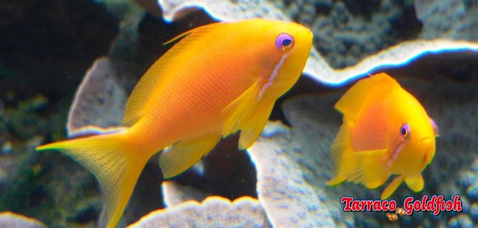 http://www.tarracogoldfish.com/wp-content/uploads/2012/07/Pseudanthias-Squamipinnis-2.jpg