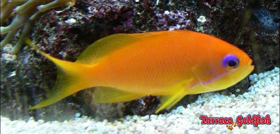 http://www.tarracogoldfish.com/wp-content/uploads/2012/07/Pseudanthias-Squamipinnis-3.jpeg