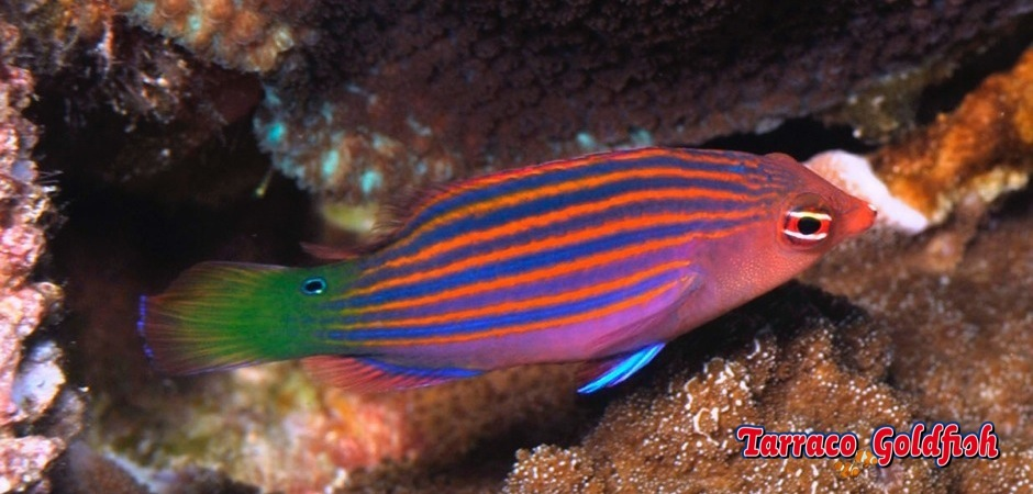 http://www.tarracogoldfish.com/wp-content/uploads/2012/07/Pseudocheilinus-hexataenia-2.jpg