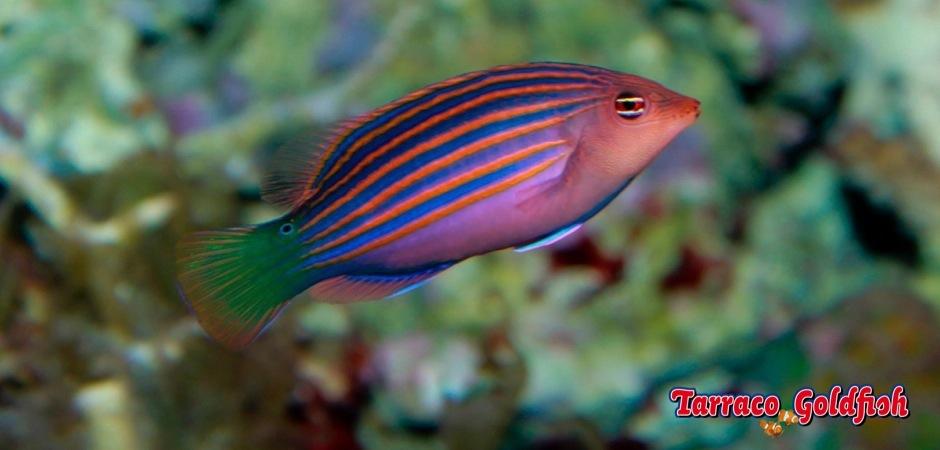http://www.tarracogoldfish.com/wp-content/uploads/2012/07/Pseudocheilinus-hexataenia-4.jpg