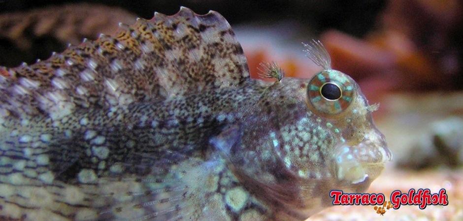 http://www.tarracogoldfish.com/wp-content/uploads/2012/07/Salarias-Fasciatus-06.jpg