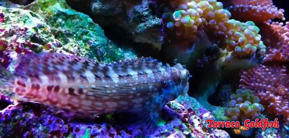 http://www.tarracogoldfish.com/wp-content/uploads/2012/07/Salarias-Fasciatus-1.jpg