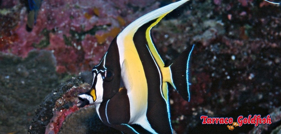 http://www.tarracogoldfish.com/wp-content/uploads/2012/07/Zanclus-Cornutus-1.jpg