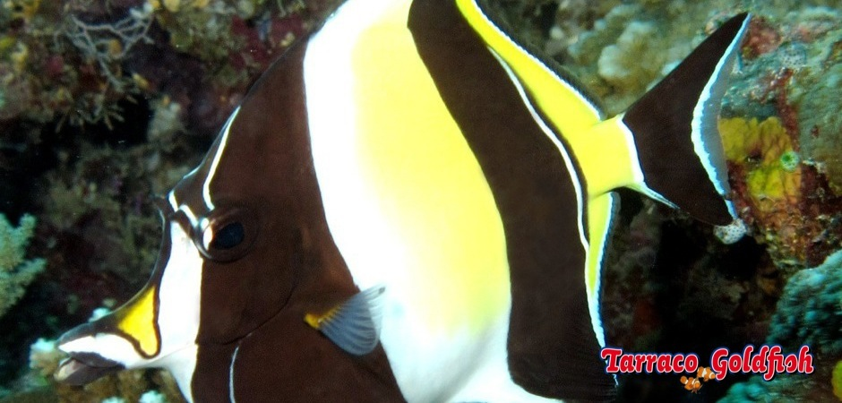 http://www.tarracogoldfish.com/wp-content/uploads/2012/07/Zanclus-Cornutus-4.jpg