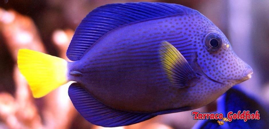 http://www.tarracogoldfish.com/wp-content/uploads/2012/07/Zebrasoma-Xanthurum-3.jpg