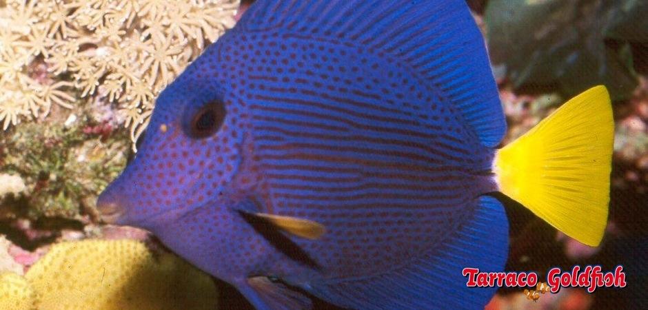 http://www.tarracogoldfish.com/wp-content/uploads/2012/07/Zebrasoma-Xanthurum-4.jpg