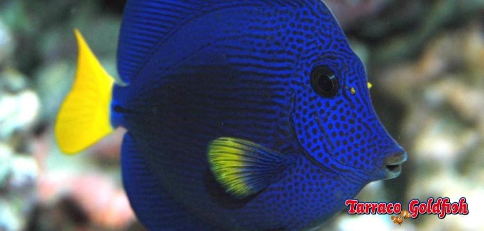 http://www.tarracogoldfish.com/wp-content/uploads/2012/07/Zebrasoma-Xanthurum.jpg