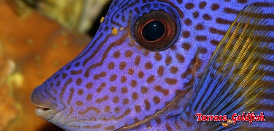 http://www.tarracogoldfish.com/wp-content/uploads/2012/07/Zebrasoma-Xanthurum_02.jpg