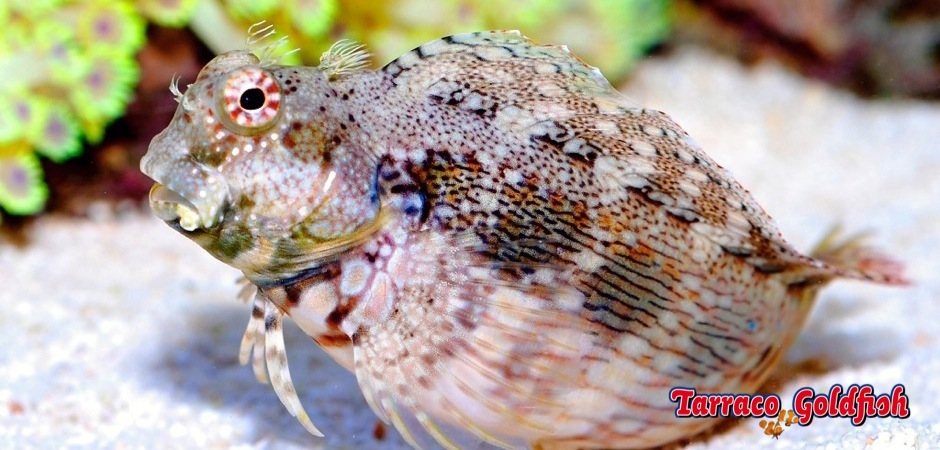 http://www.tarracogoldfish.com/wp-content/uploads/2012/07/salarias-fasciatus.jpg