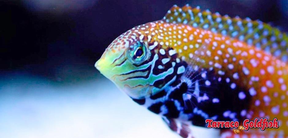 http://www.tarracogoldfish.com/wp-content/uploads/2012/08/Macropharyngodon-bipartitus-11.jpg