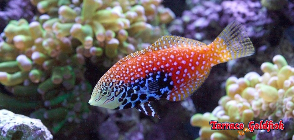 http://www.tarracogoldfish.com/wp-content/uploads/2012/08/Macropharyngodon-bipartitus-3.jpg