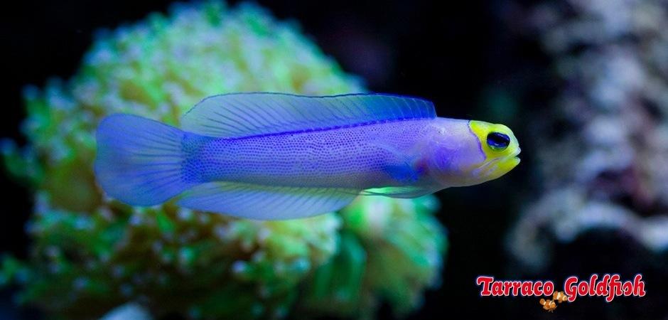 http://www.tarracogoldfish.com/wp-content/uploads/2012/08/Opistognathus-Aurifrons-1.jpg