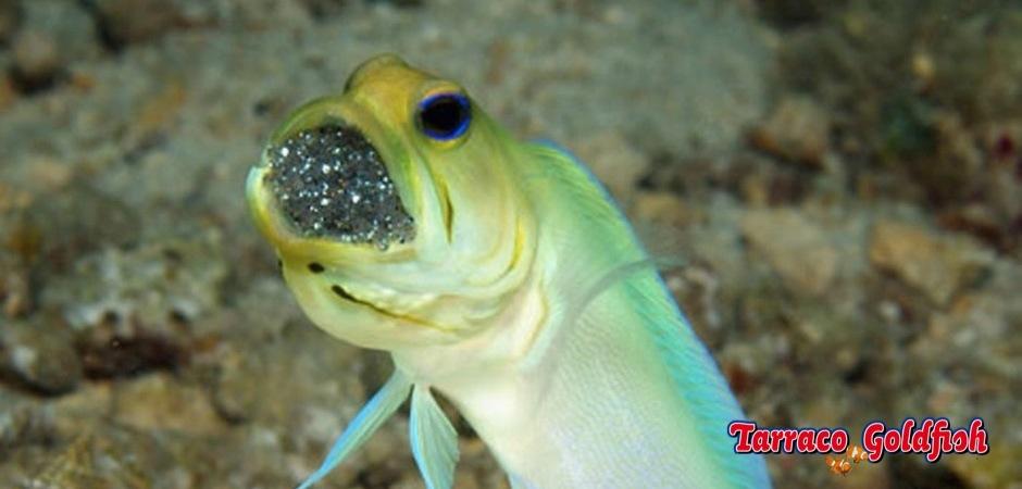 http://www.tarracogoldfish.com/wp-content/uploads/2012/08/Opistognathus-Aurifrons.jpg