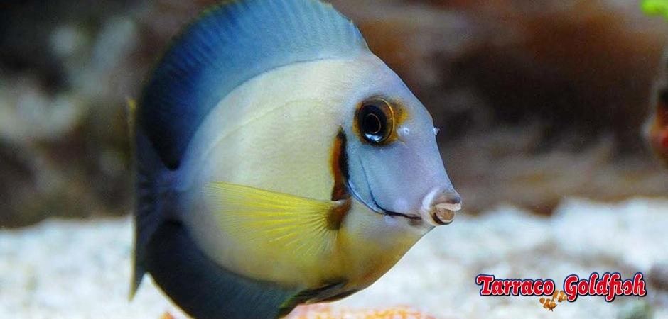 http://www.tarracogoldfish.com/wp-content/uploads/2013/07/Acanthurus-Pyroferus-2.jpg
