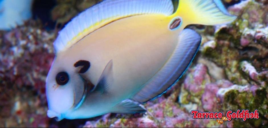 http://www.tarracogoldfish.com/wp-content/uploads/2013/07/Acanthurus-Tennentii-3.jpg