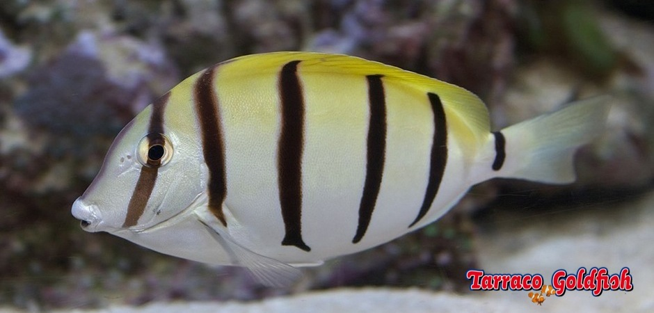 http://www.tarracogoldfish.com/wp-content/uploads/2013/07/Acanthurus-Triostegus-3.jpg