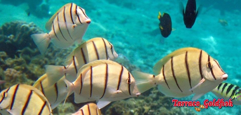 http://www.tarracogoldfish.com/wp-content/uploads/2013/07/Acanthurus-triostegus-2jpg.jpg