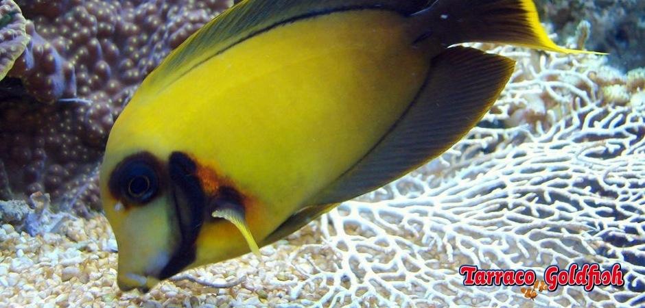 http://www.tarracogoldfish.com/wp-content/uploads/2013/07/Acanthurus_pyroferus.jpg