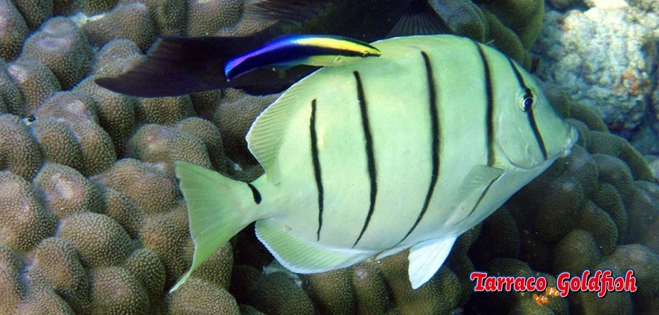 http://www.tarracogoldfish.com/wp-content/uploads/2013/07/Acanthurus_triostegus-1.jpg