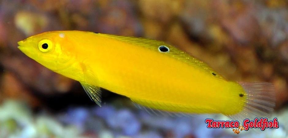 http://www.tarracogoldfish.com/wp-content/uploads/2013/07/halichoeres-chrysus.jpg