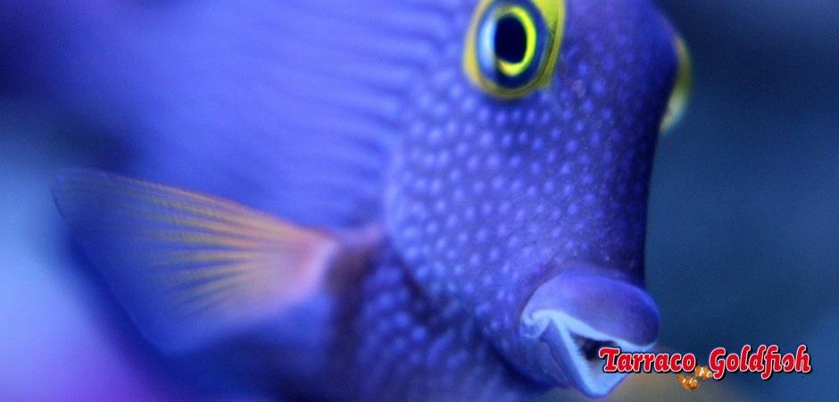 http://www.tarracogoldfish.com/wp-content/uploads/2013/08/Ctenochaetus-Strigosus-0.jpg