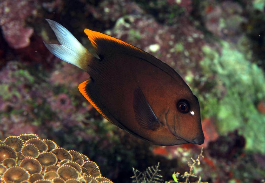 Ctenochaetus-Tominiensis-06
