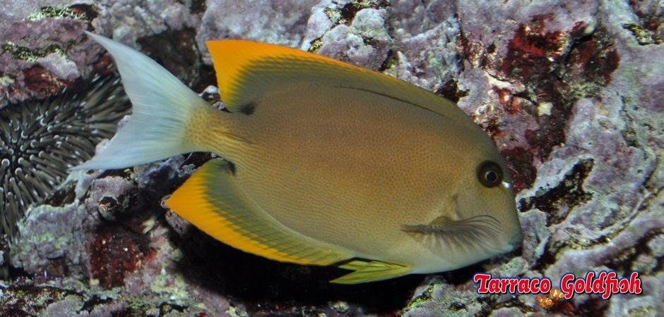 http://www.tarracogoldfish.com/wp-content/uploads/2013/08/Ctenochaetus-Tominiensis0.jpg