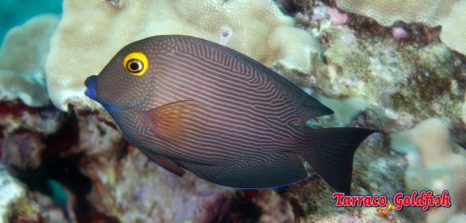 http://www.tarracogoldfish.com/wp-content/uploads/2013/08/Ctenochaetus-strigosus-Hawaii.jpg