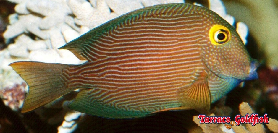 http://www.tarracogoldfish.com/wp-content/uploads/2013/08/Ctenochaetus-strigosus3.jpg