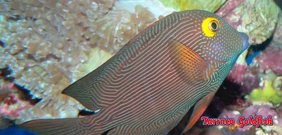 http://www.tarracogoldfish.com/wp-content/uploads/2013/08/Ctenochaetus_strigosus_1.jpg