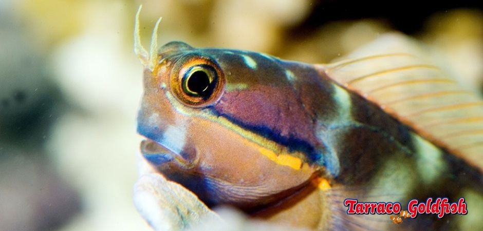 http://www.tarracogoldfish.com/wp-content/uploads/2013/08/Ecsenius-Stigmatura-04.jpg
