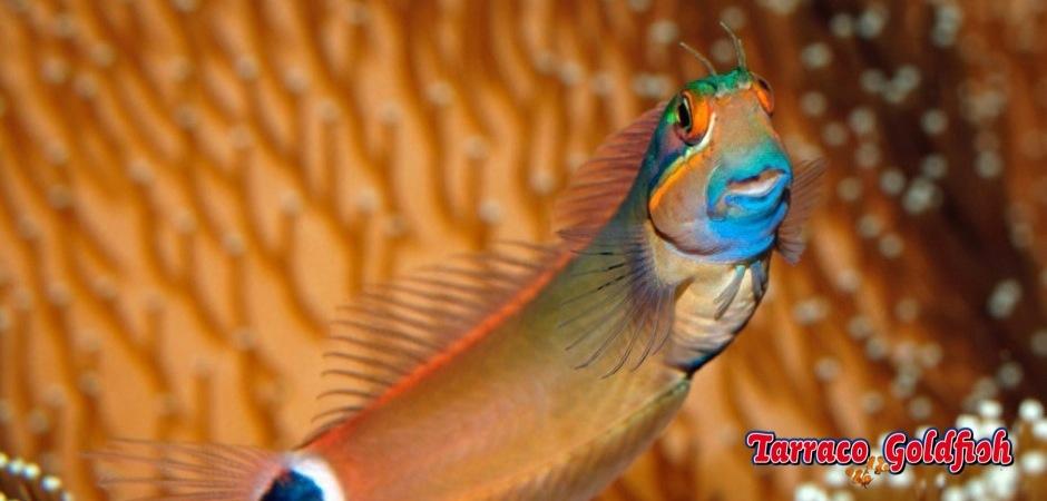 http://www.tarracogoldfish.com/wp-content/uploads/2013/08/Ecsenius-Stigmatura.jpg