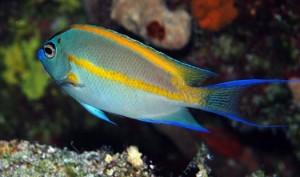 Genicanthus-bellus-male-jj-0006-092307
