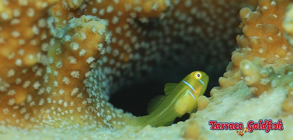 http://www.tarracogoldfish.com/wp-content/uploads/2013/08/Gobiodon-Citrinus-1-Tarraco-Goldfish.jpg