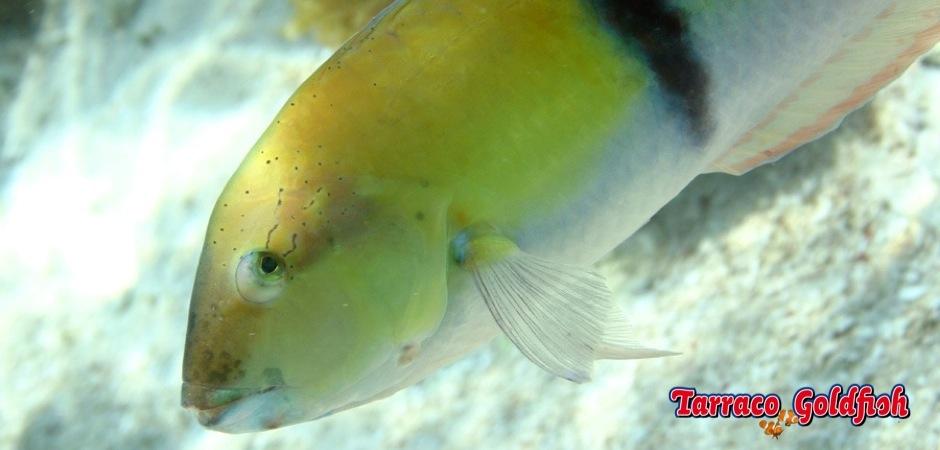 http://www.tarracogoldfish.com/wp-content/uploads/2013/08/Halichoeres-Garnoti-03.jpg