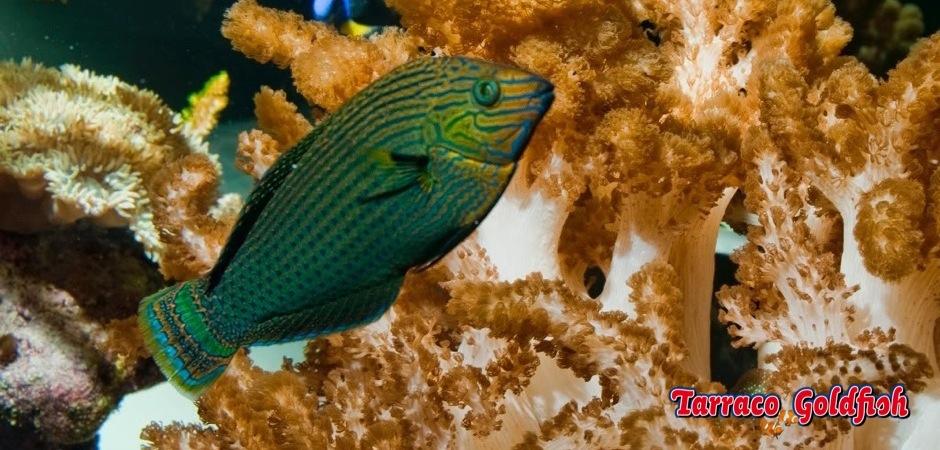 http://www.tarracogoldfish.com/wp-content/uploads/2013/08/Halichoeres-Marginatus.jpg