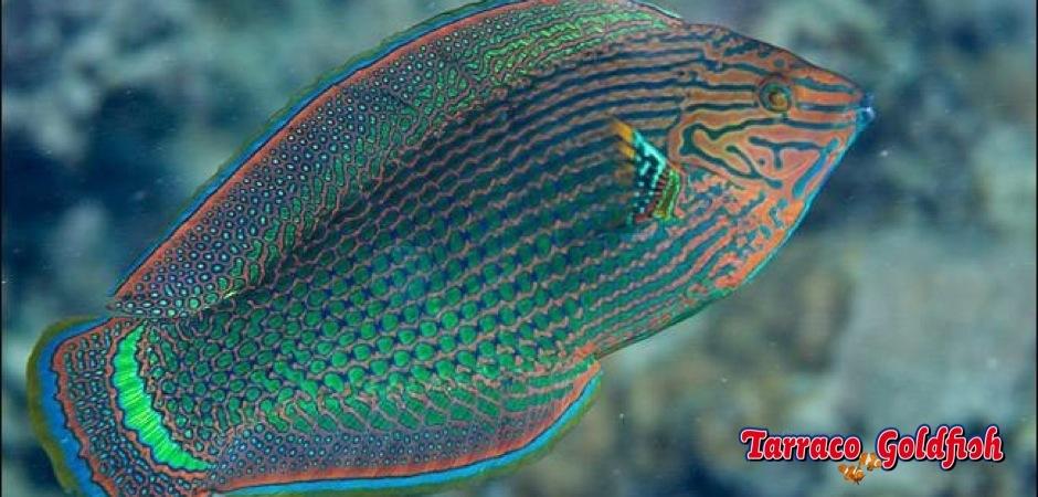 http://www.tarracogoldfish.com/wp-content/uploads/2013/08/Halichoeres-Marginatus2.jpg