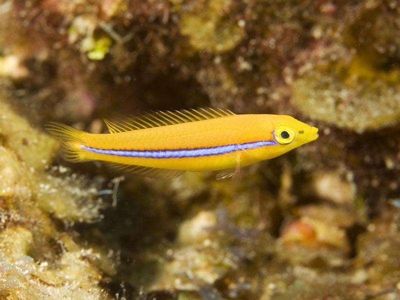 Halichoeres garnoti Yellowhead wrasse juvenile Belize copy
