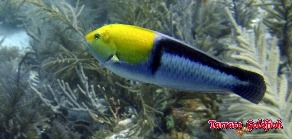 http://www.tarracogoldfish.com/wp-content/uploads/2013/08/Halichoeres-garnoti.jpg