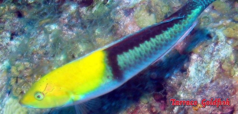 http://www.tarracogoldfish.com/wp-content/uploads/2013/08/Halichoeres-garnoti3.jpg