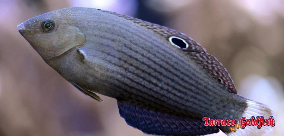 http://www.tarracogoldfish.com/wp-content/uploads/2013/08/Halichoeres-marginatus3.jpg