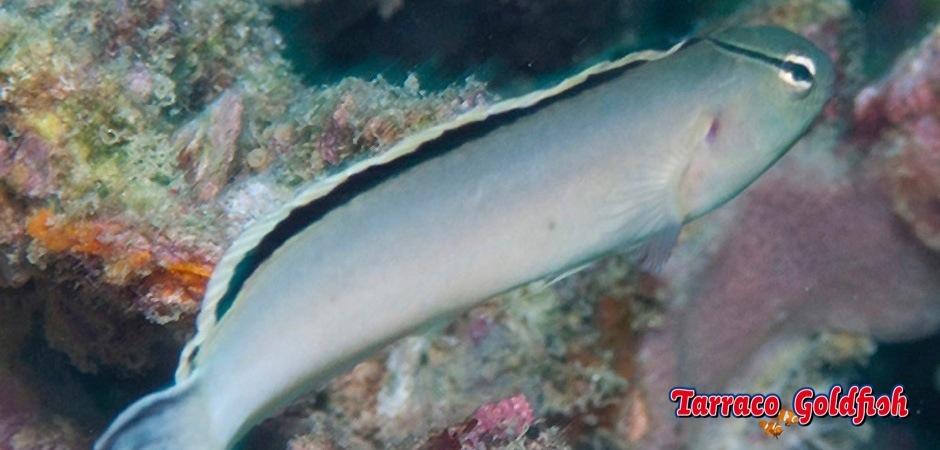 http://www.tarracogoldfish.com/wp-content/uploads/2013/08/Meiacanthus-Smithii-1.jpg
