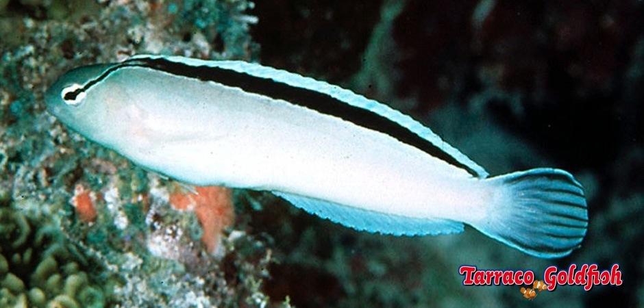 http://www.tarracogoldfish.com/wp-content/uploads/2013/08/Meiacanthus-Smithii-2.jpg