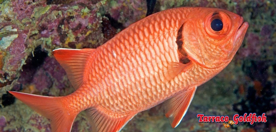 http://www.tarracogoldfish.com/wp-content/uploads/2013/08/Myripristis-Murdjan2.jpg