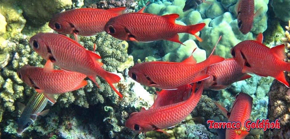 http://www.tarracogoldfish.com/wp-content/uploads/2013/08/Myripristis-Murdjan3.jpg