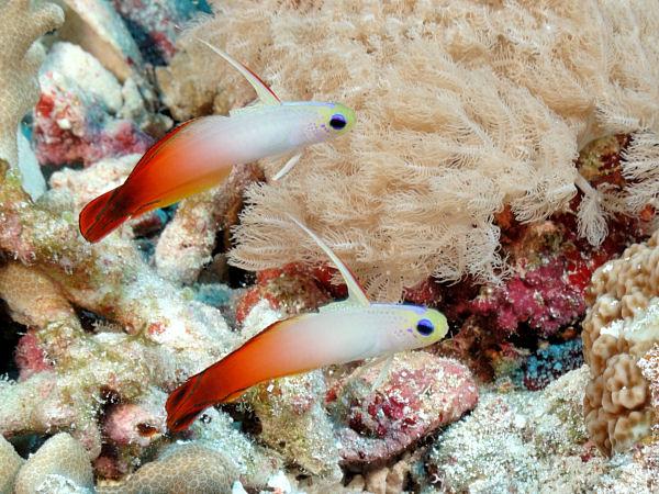 http://www.tarracogoldfish.com/wp-content/uploads/2013/08/N_magnifica_NHorn07-2.jpg