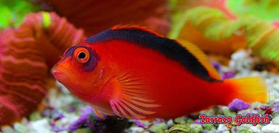 http://www.tarracogoldfish.com/wp-content/uploads/2013/08/Neocirrhites-armatus1.jpg